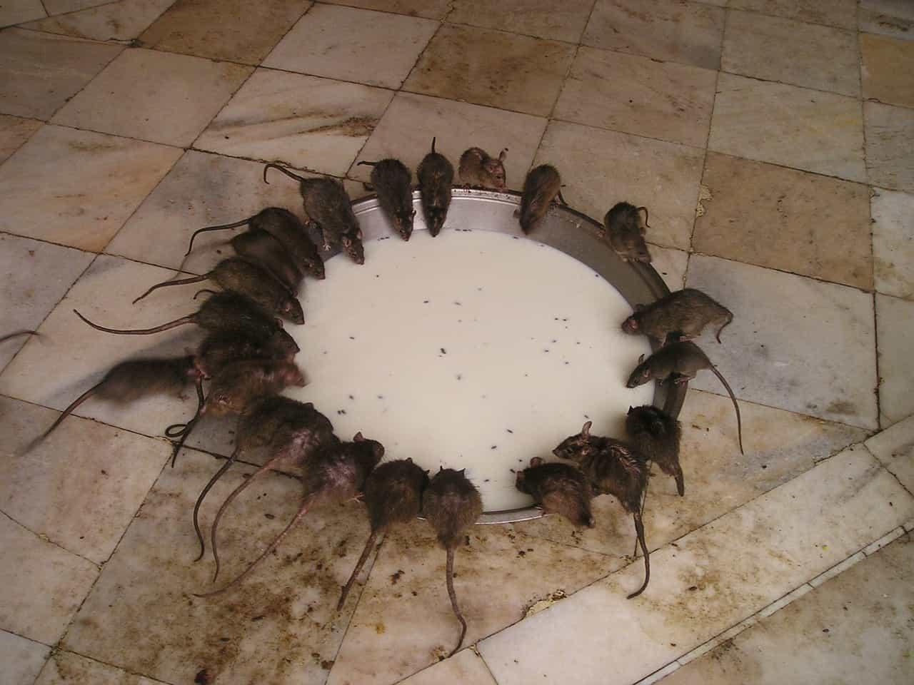 pacovi
