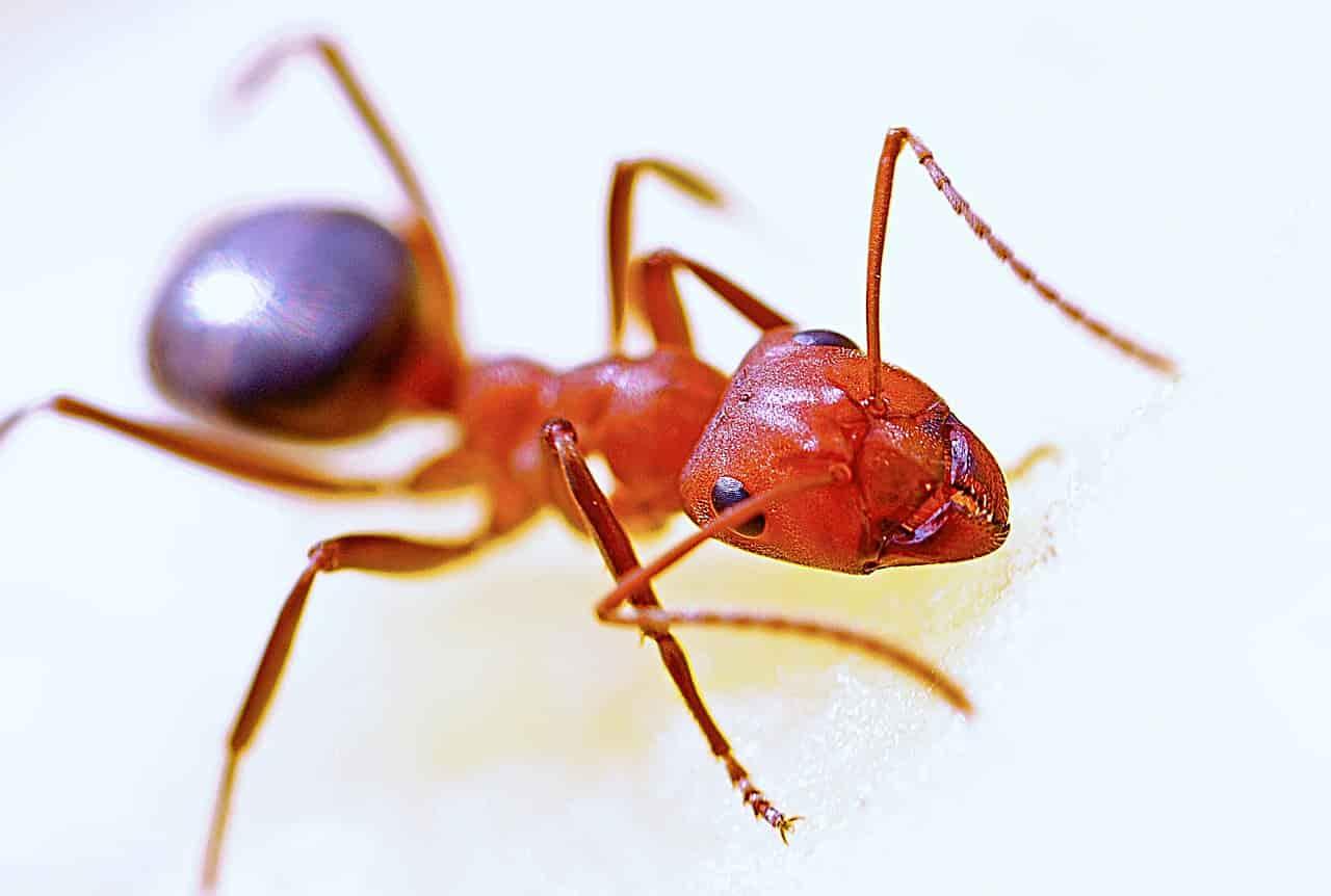 Dezinsekcija mrava